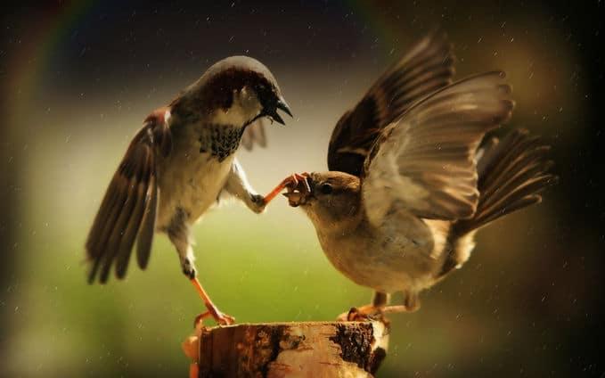 Cek Apakah Burung Anda Sudah Benar-Benar Siap Tarung