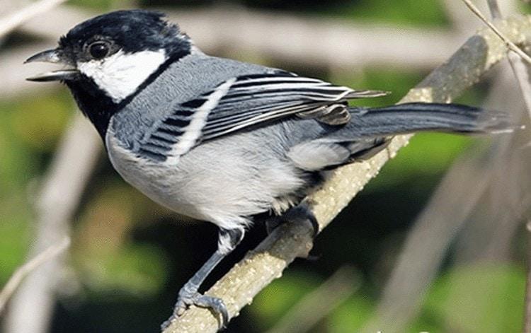 Jenis Burung Gelatik