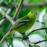 Burung Cipoh Spesies Burung Bersuara Merdu Yang Sulit Ditaklukan