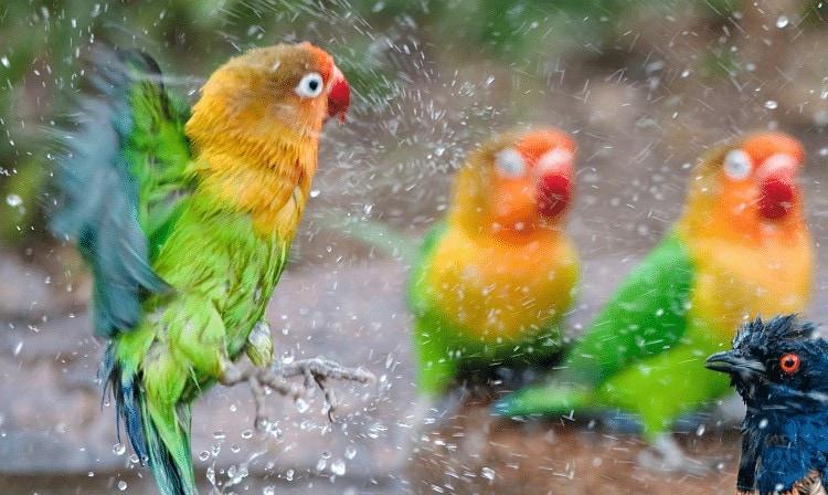 Cara Menurunkan Birahi Lovebird