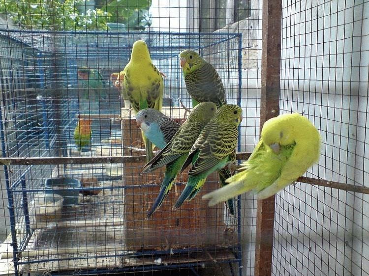 Ternak Burung Parkit