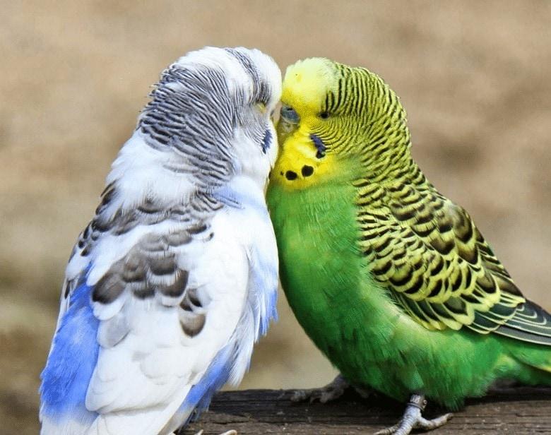 Makanan Burung Parkit