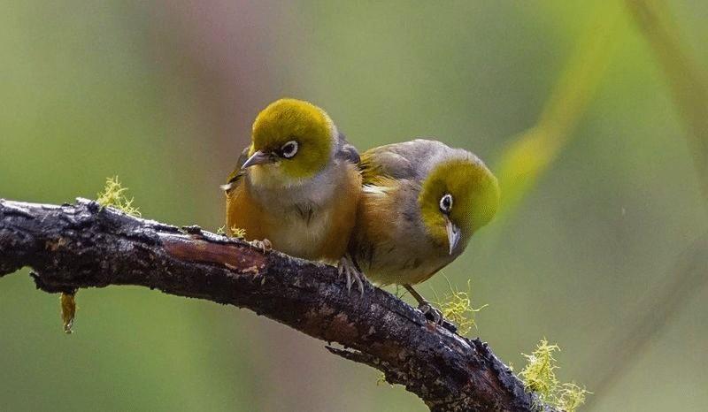 Penjodohan Burung Pleci