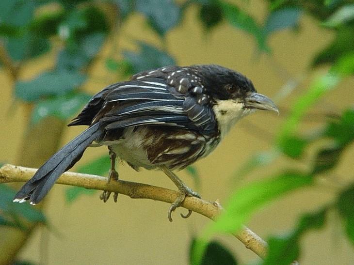 Burung Cendet Kembang