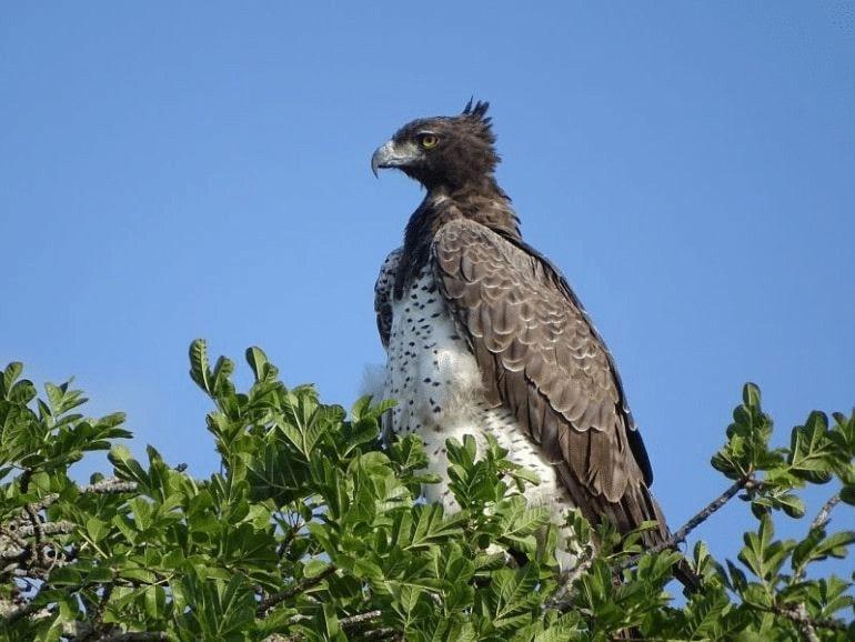 Burung Elang Martial
