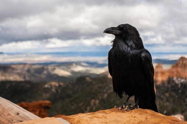 Burung Gagak Besar