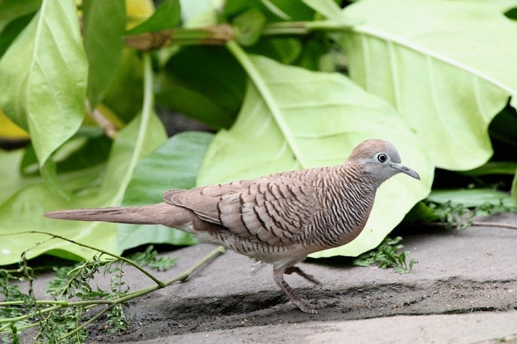 Burung Perkutut Maungeus