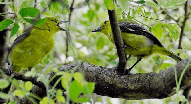 Cara Membedakan Burung Sirtu Jantan dan Betina