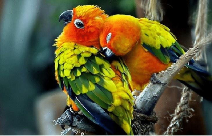 Cara Merawat Lovebird Mabung