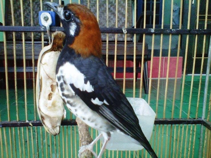 Ternak Burung Anis Kembang