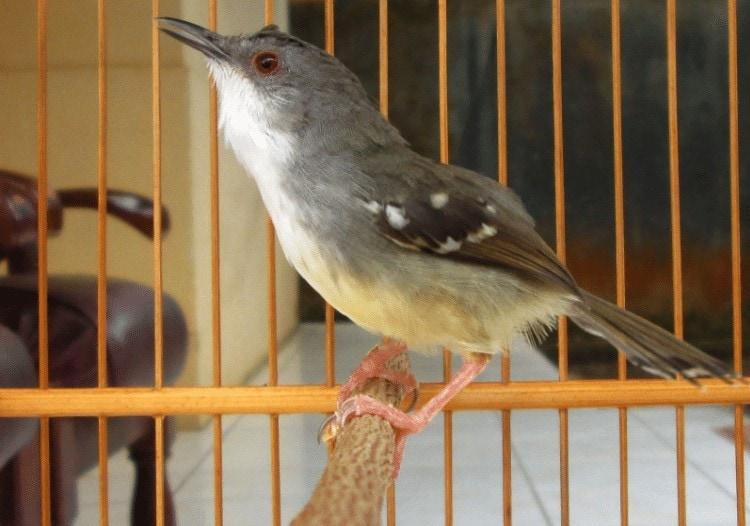 Ternak Burung Ciblek