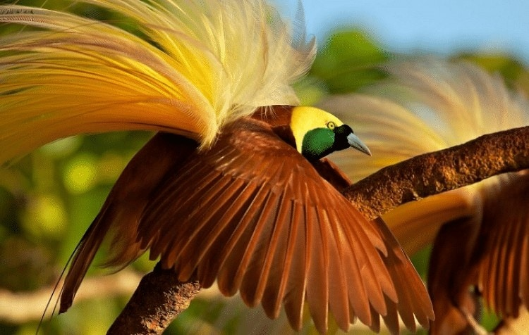 Burung Cenderawasih Kuning Besar