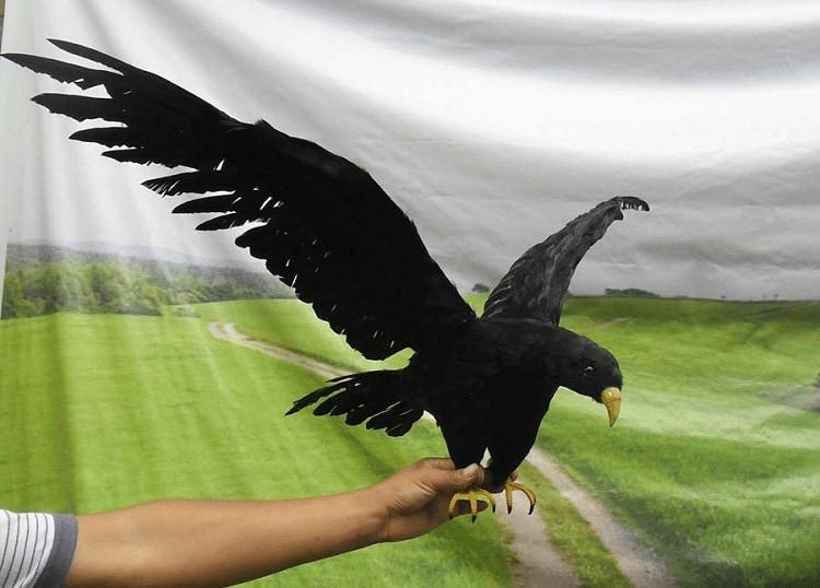 Ciri Khas Burung Gagak