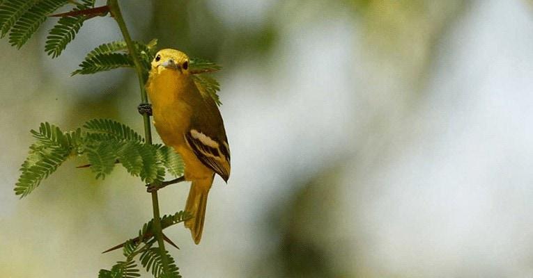 Merawat Burung Sirtu