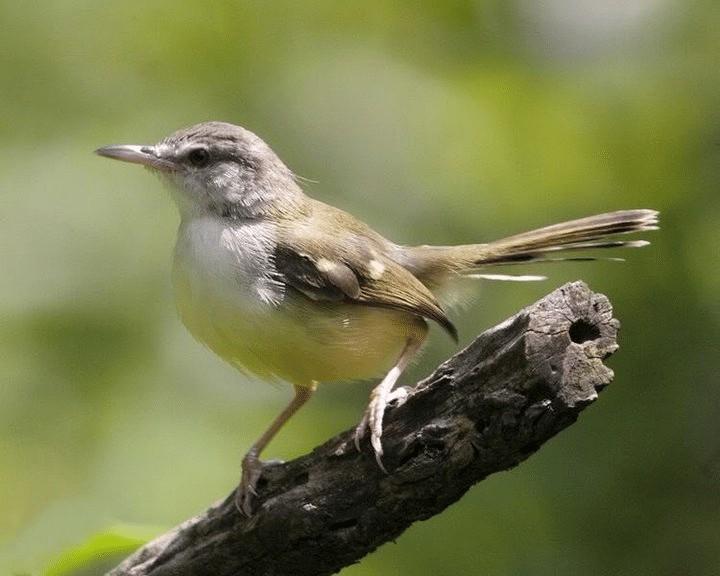 Jenis Burung Ciblek