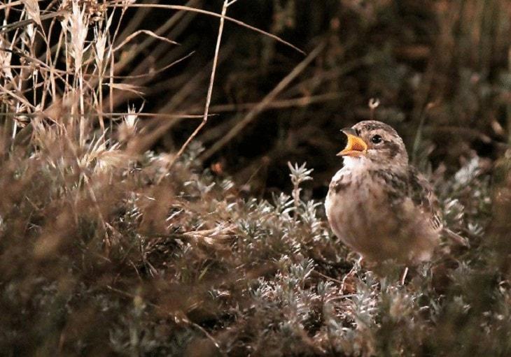 Karakteristik Burung Branjangan