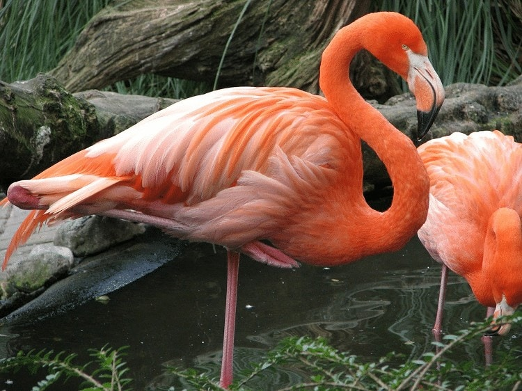 Karakteristik Burung Flamingo