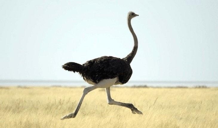 Karakteristik Burung Unta