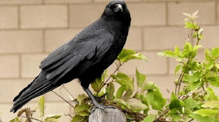 Keistimewaan Burung Gagak