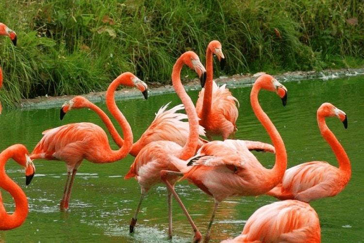 Keunikan Burung Flamingo