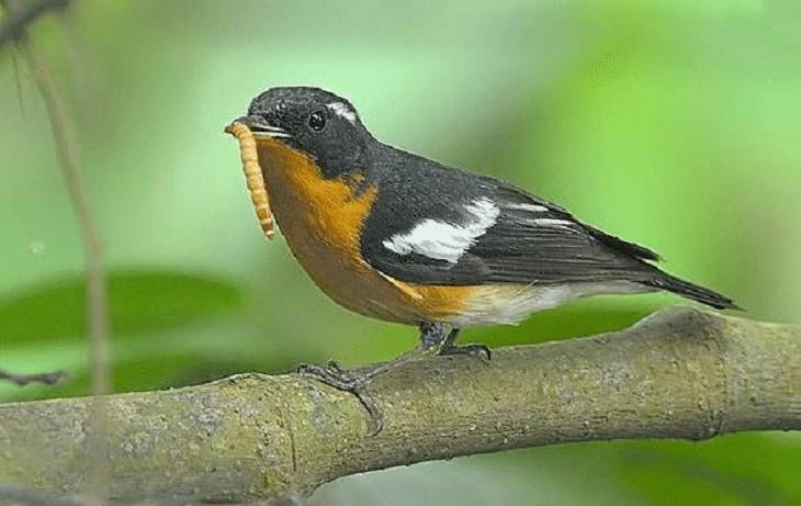 Makanan Burung Sulingan