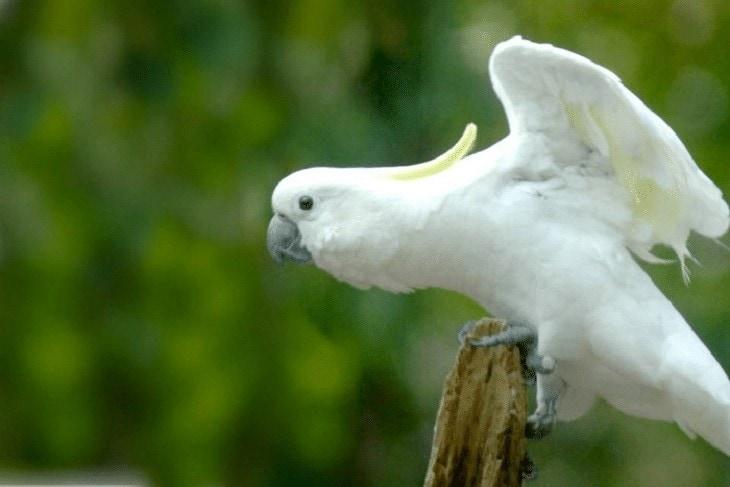 Burung Kakatua Putih