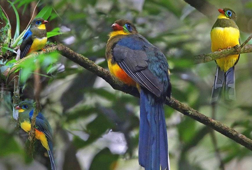 Burung Luntur Jawa