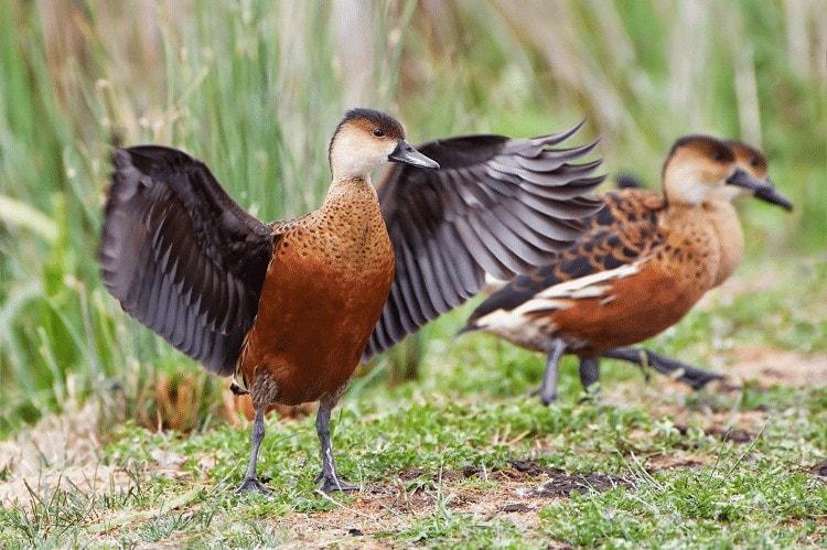 Pemeliharaan Burung Belibis