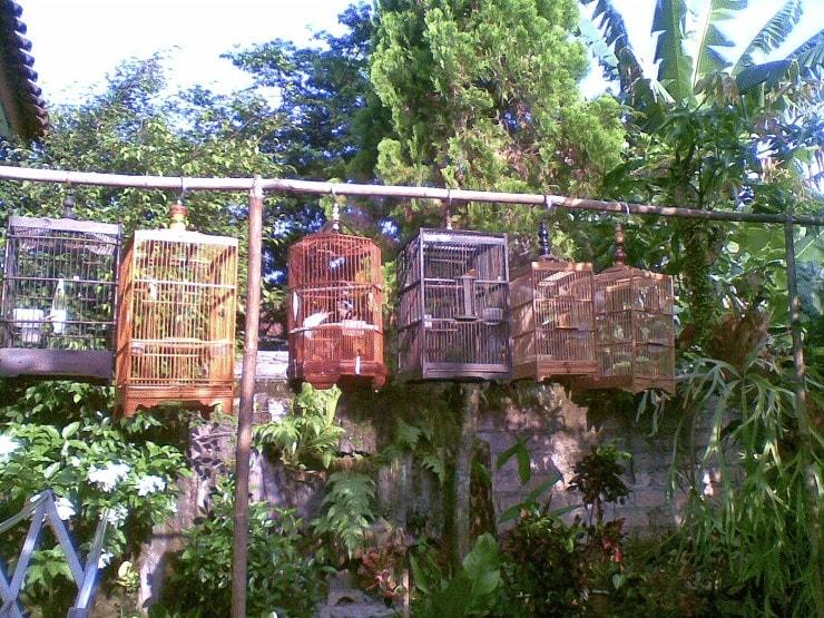 Penjemuran Burung Perkutut Lomba