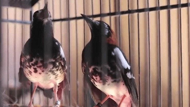 Penjodohan Burung Anis Kembang