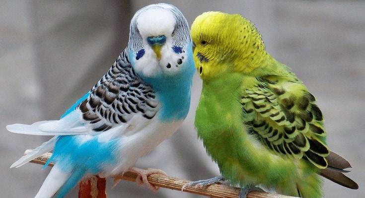 Perbedaan Burung Parkit Jantan dan Betina Dewasa