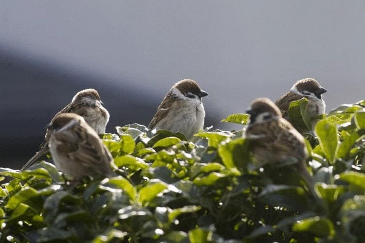 Populasi Burung Gereja
