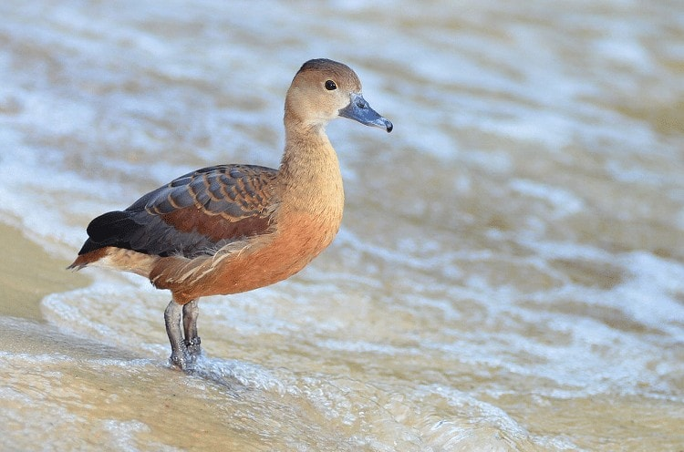 Cara Ternak Burung Belibis