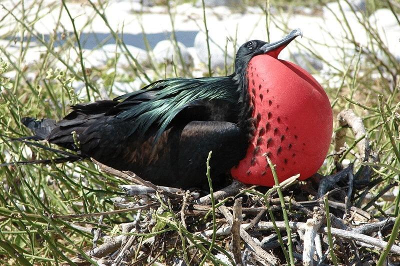 Burung Frigate atau Cikalang
