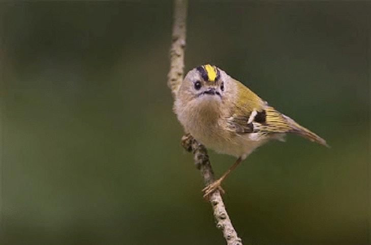 Burung Goldcrest