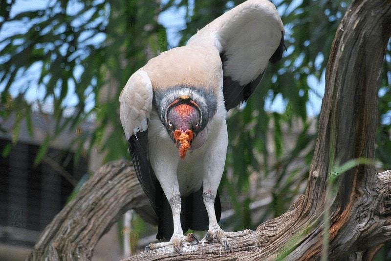 Burung Hering Raja