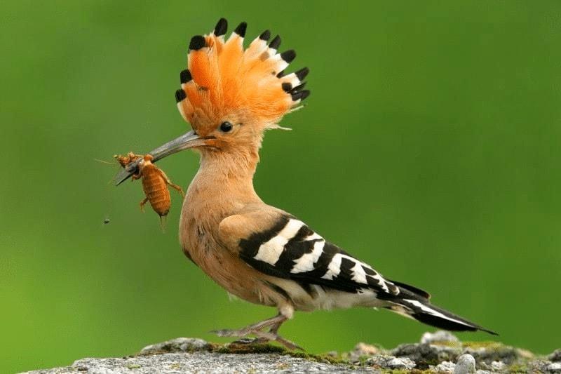 Burung Hoopoe