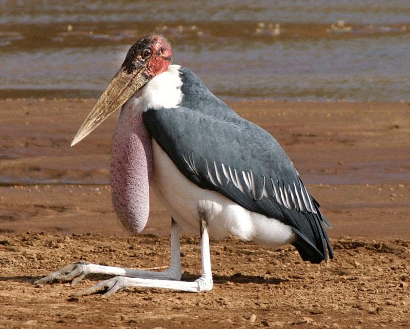 Burung Marabou