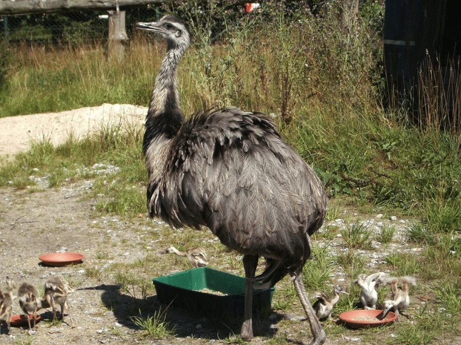 Burung Rhea yang Mulai Langka