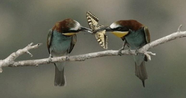 Burung Romantis Pada Pasangan