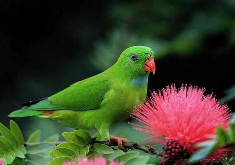 Burung Serindit Makan Nektar