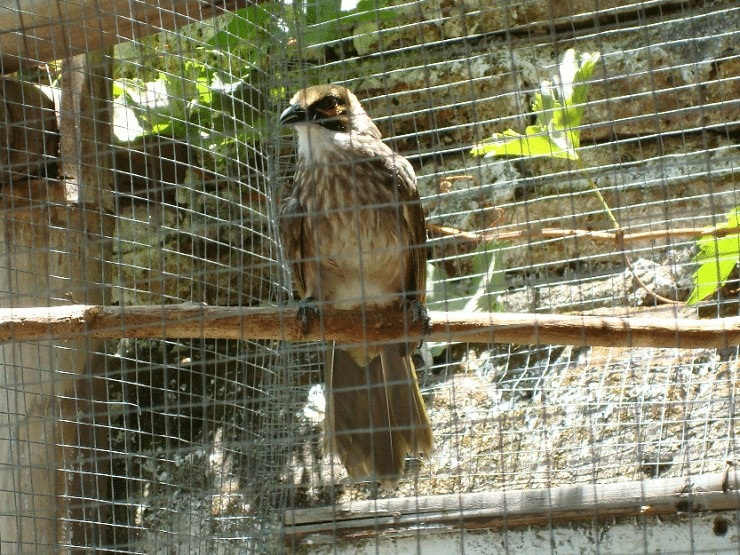 Budidaya Burung Cucak Rowo