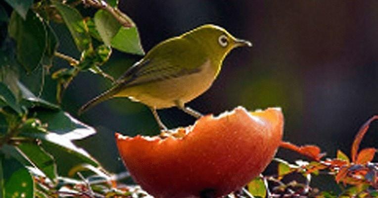 Melatih Burung Pleci Makan Voer