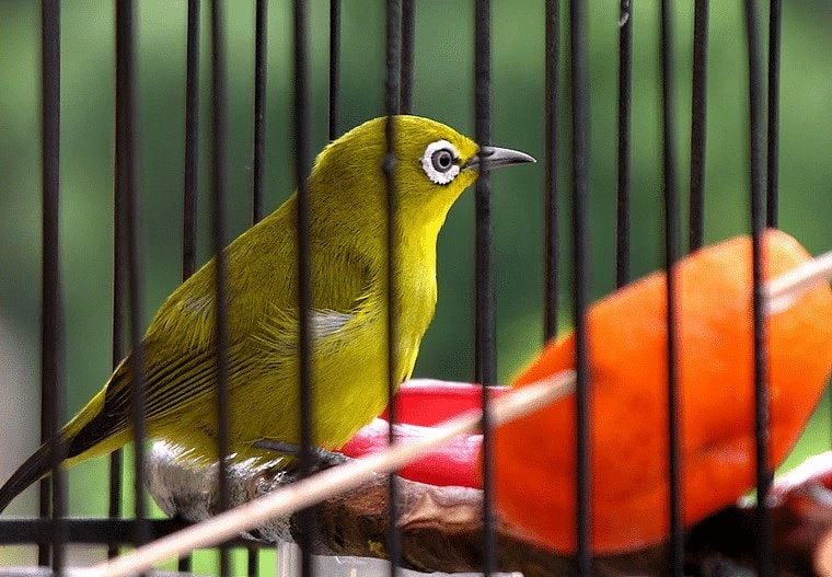 Cara Melatih Burung Pleci Makan Voer Dengan Buah