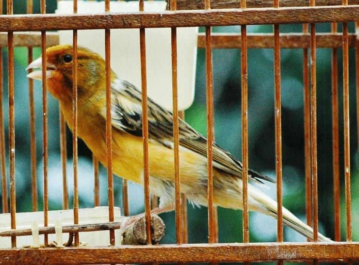 Memperindah Bulu Burung Kenari