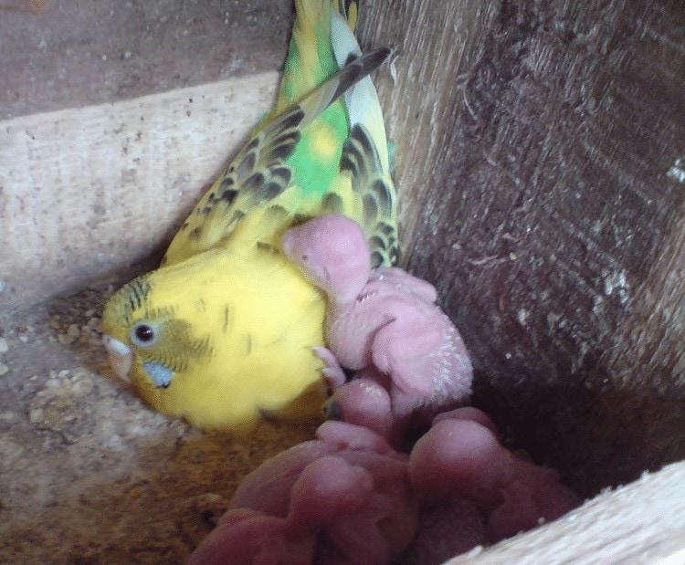 Merawat Anakan Burung Parkit