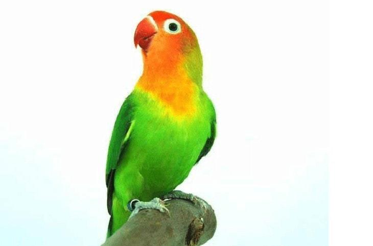 Burung Lovebird Suara Serak