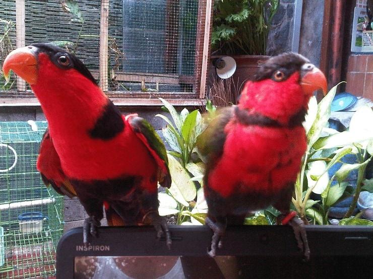 Burung Nuri Agar Tidak Stress