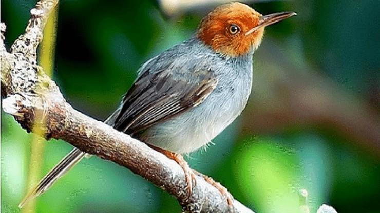 Burung Bertubuh Mungil