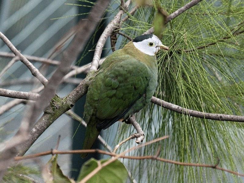 Burung Pemakan Buah